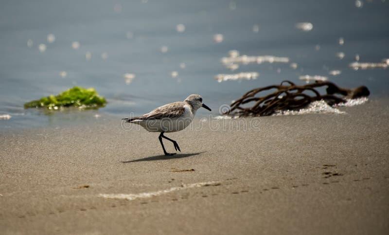 Кулик идя на пляж на водах окаймляется стоковые фотографии rf