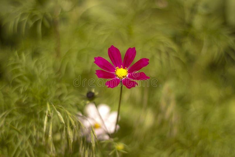 Культивирование сада цветет, конец-вверх на cosme сирени стоковое фото rf
