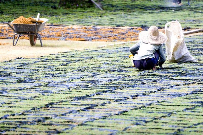 культивировать работника ornamental травы стоковая фотография