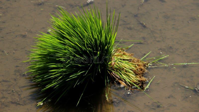 Культивировать рисовой посадки ждать стоковые фотографии rf