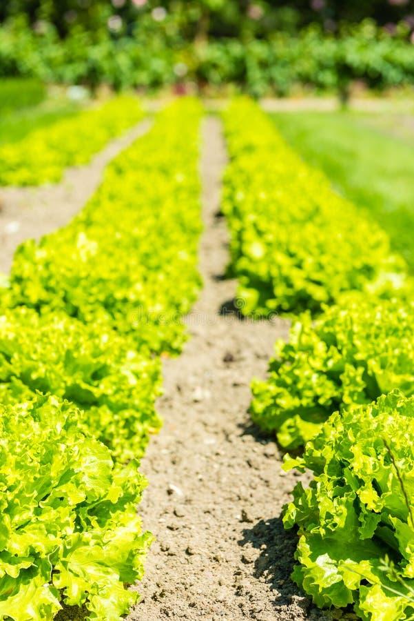 Культивируемое поле: свежие строки кровати зеленого салата стоковые фото