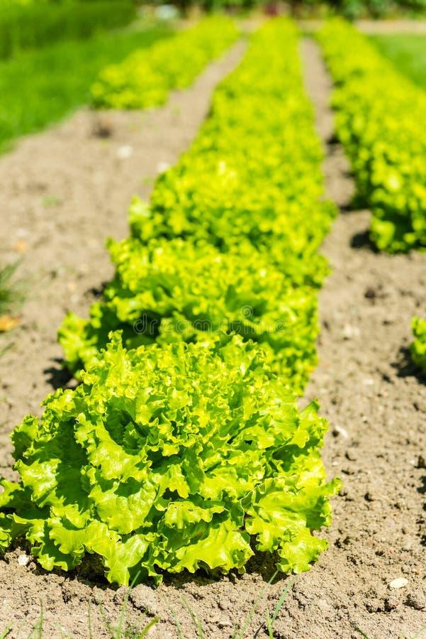 Культивируемое поле: свежие строки кровати зеленого салата стоковые изображения