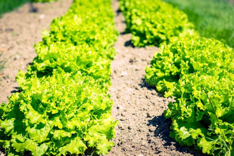 Культивируемое поле: свежие строки кровати зеленого салата стоковые изображения rf