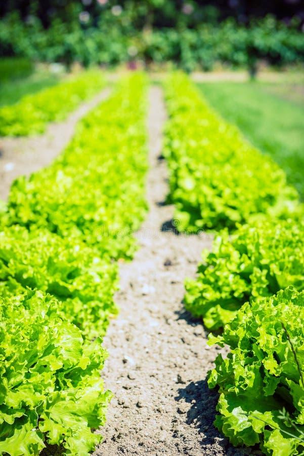 Культивируемое поле: свежие строки кровати зеленого салата стоковое изображение