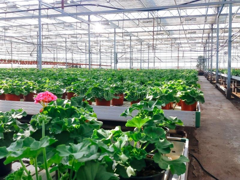 Культивируемый орнаментальный расти цветков в коммерчески plactic фольге покрыл парник садоводства стоковые фотографии rf