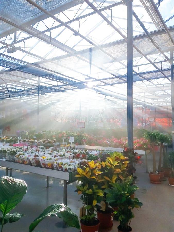 Культивируемый орнаментальный расти цветков в коммерчески plactic фольге покрыл парник садоводства стоковая фотография
