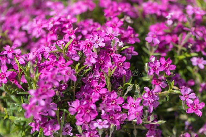 Культурные цветки ежегодников сада стоковые фото