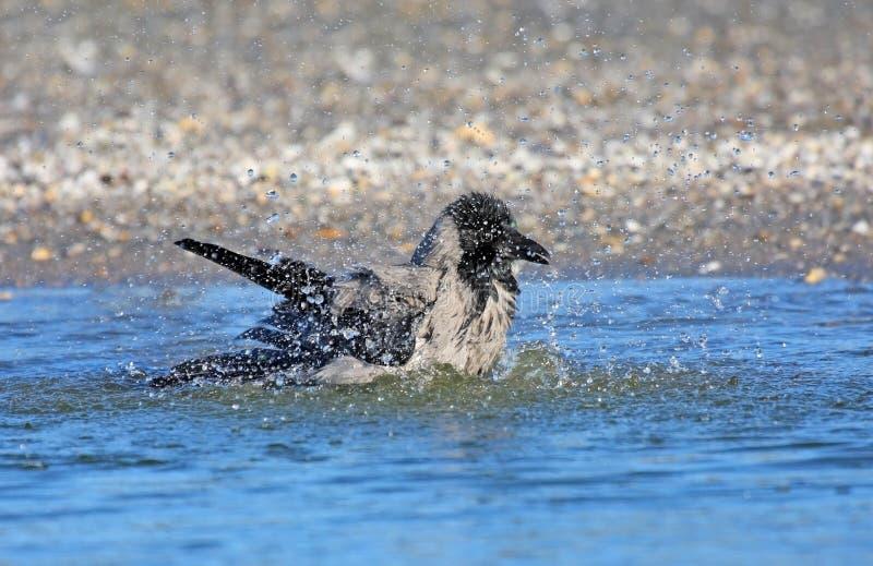 купающ ворону с капюшоном стоковое фото rf