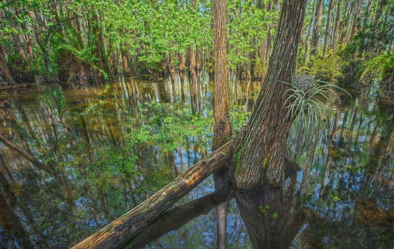 Купол Cypress в болотистых низменностях стоковое фото