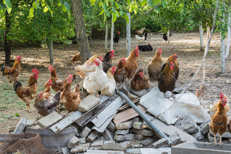 Курица и петух на традиционной свободной птицеферме ряда стоковая фотография rf