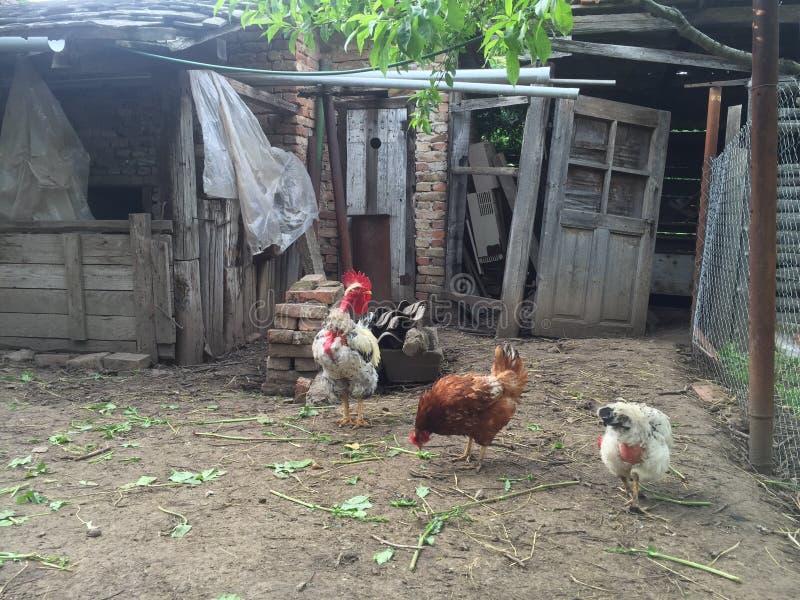 Курица и петух стоковая фотография