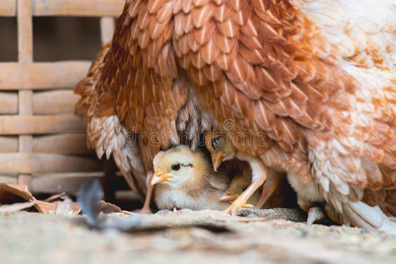 Курица и цыпленоки стоковое изображение rf