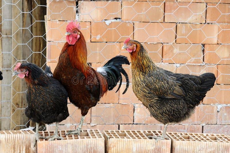 Download курица крана стоковое изображение. изображение насчитывающей пер - 18382235