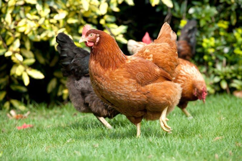 курица сада стоковое изображение rf