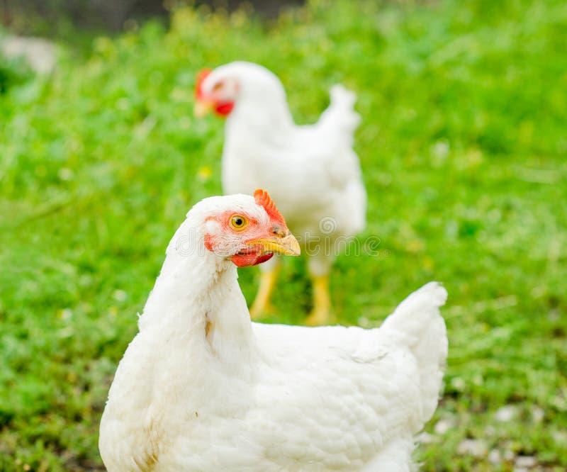 Курица смотря вас стоковое фото rf