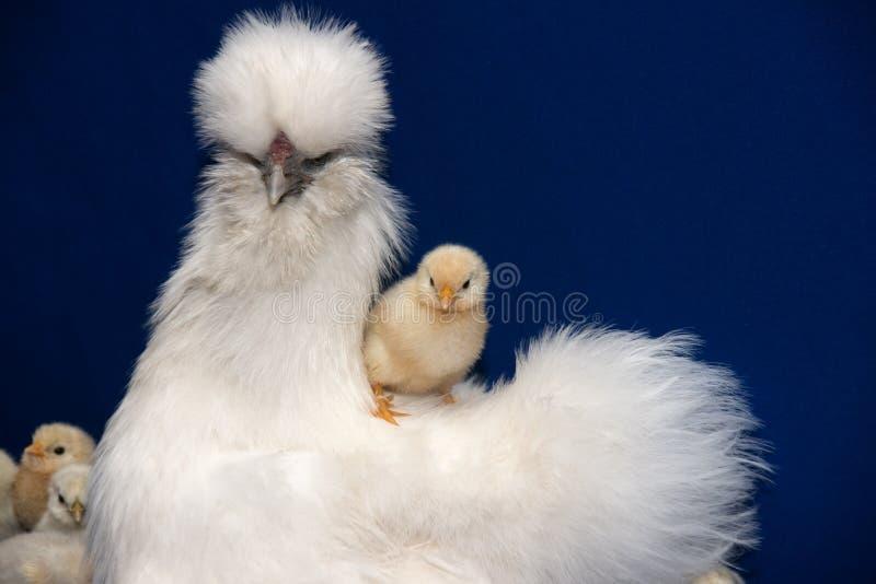 курица цыплят стоковые фото