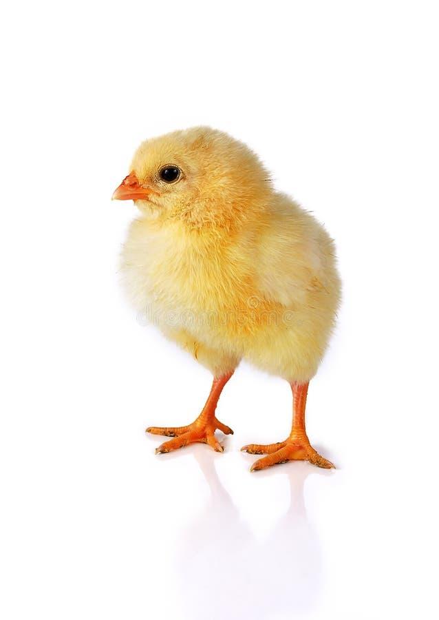 курица цыпленка предпосылки изолировала одну белизну стоковые изображения rf