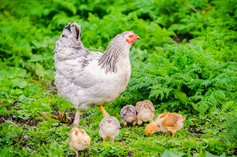 Курица цыпленка с цыпленоками стоковая фотография rf