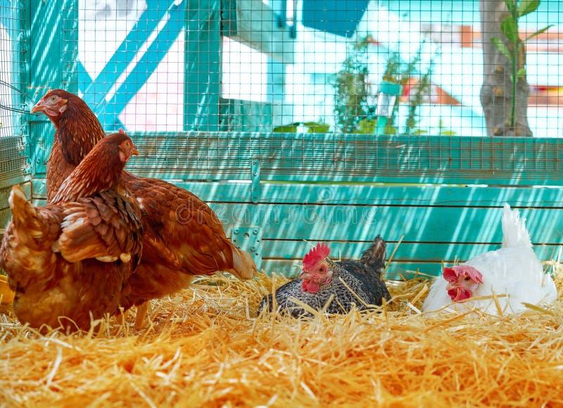 Курицы в доме курицы птицы с соломой стоковое фото