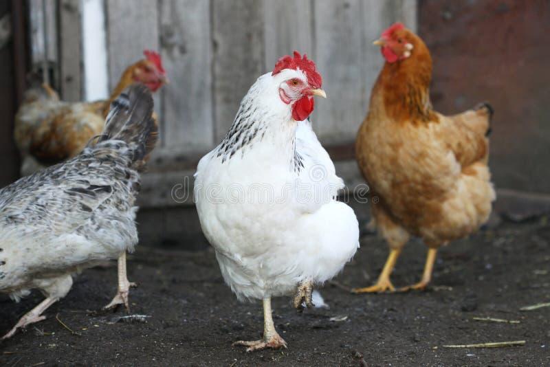 Курицы, птица стоковые фото