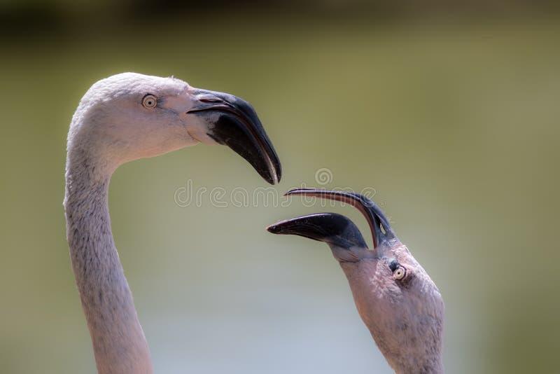 Куриц-клюнутый супруг Мужская будучи nagged птица фламинго стоковое изображение rf