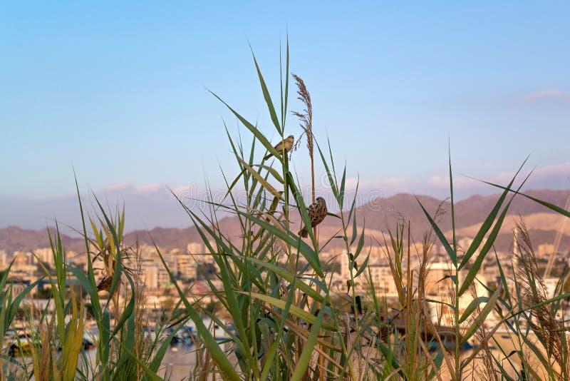 Курорт Eilat Птицы в тростниках стоковые фотографии rf