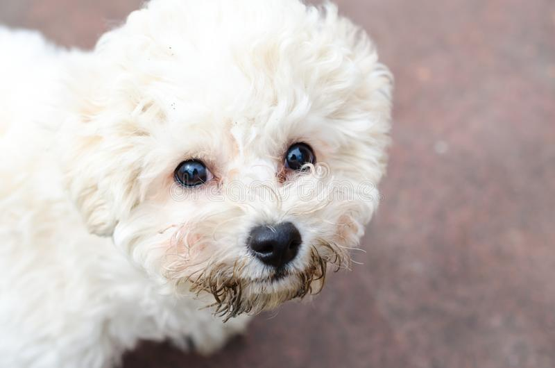 Курчавый щенок frise bichon стоковые фото