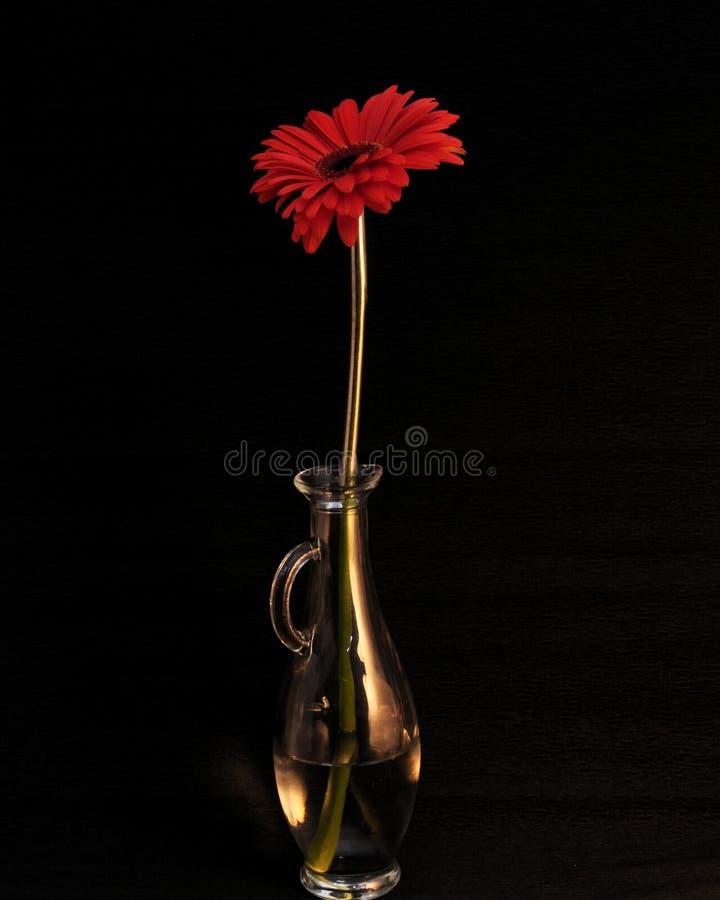 курьерский цветок цветет удовольствие макроса влюбленности жизни gerbers gerbera солнечное к стоковые изображения rf