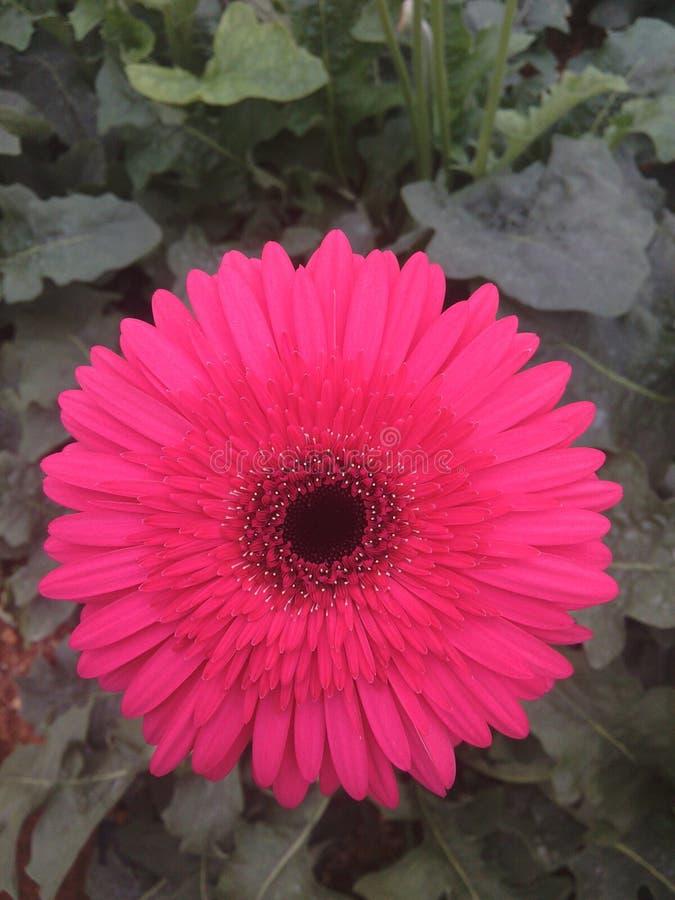 курьерский цветок цветет удовольствие макроса влюбленности жизни gerbers gerbera солнечное к стоковые фотографии rf