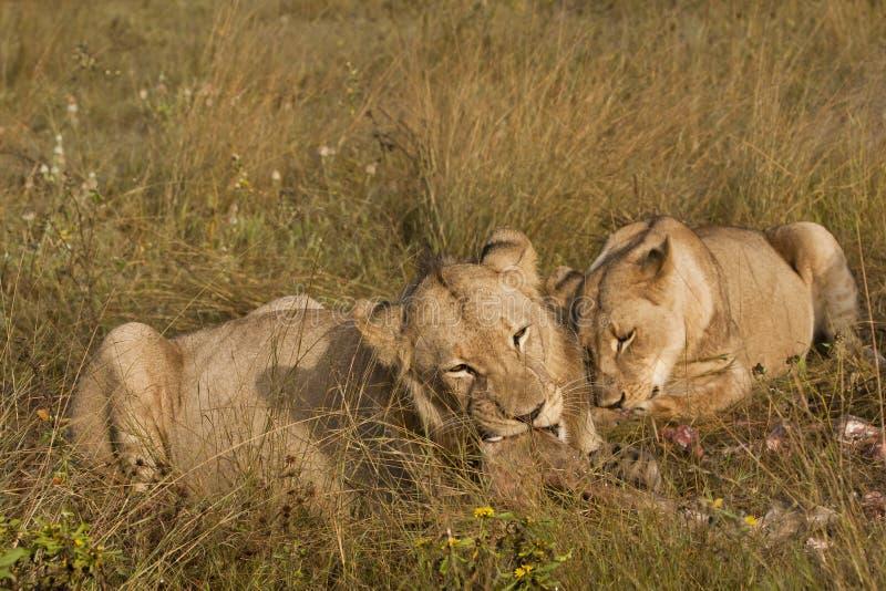 кусочки львов вкусные стоковое фото