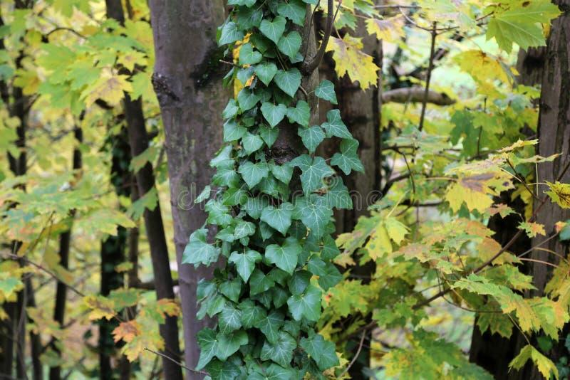 Кустарники плюща/проползать льнуть к их adventitious корням стен стоковое фото