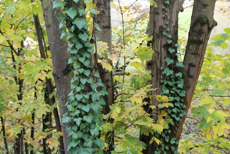 Кустарники плюща/проползать льнуть к их adventitious корням стен стоковые изображения rf