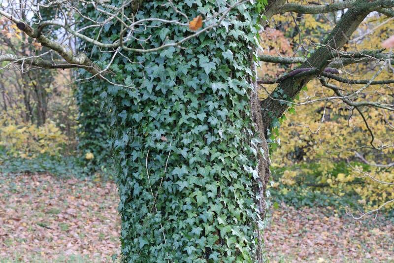 Кустарники плюща/проползать льнуть к их adventitious корням стен стоковые фото