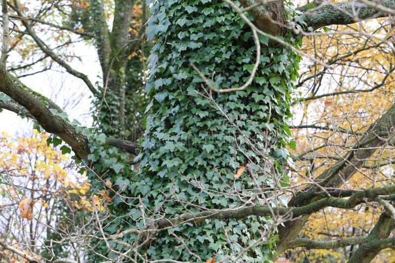 Кустарники плюща/проползать льнуть к их adventitious корням стен стоковое фото rf