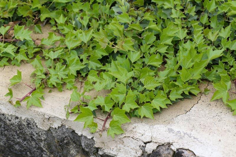 Кустарники проползать льнуть к их adventitious корням стен стоковые фотографии rf