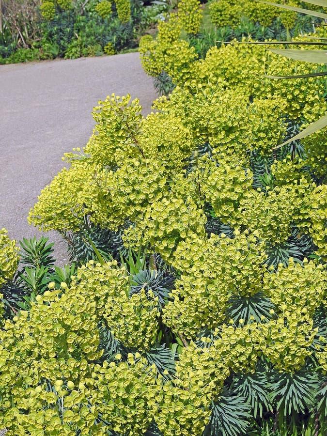 Кустарники цветков орнаментального сада кустов завода молочая стоковое изображение