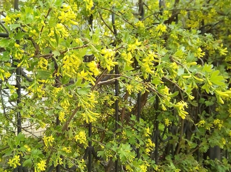 Кустарники цветя смородина около загородки металла стоковое изображение