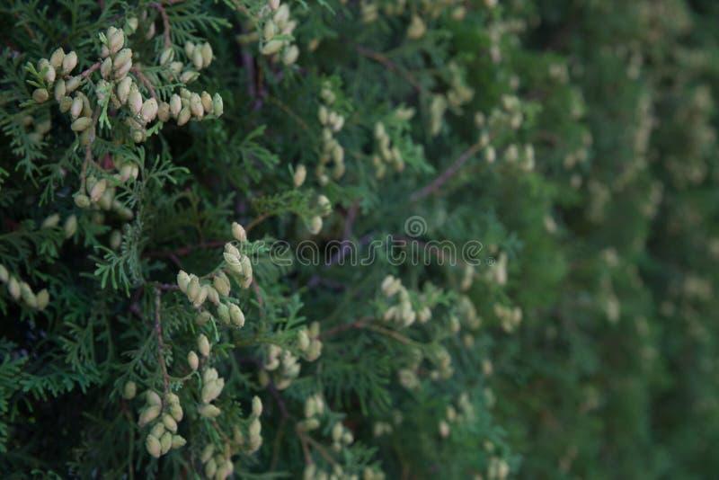 Кустарник для изгородей зелень gentile предпосылки абстракции стоковые фотографии rf