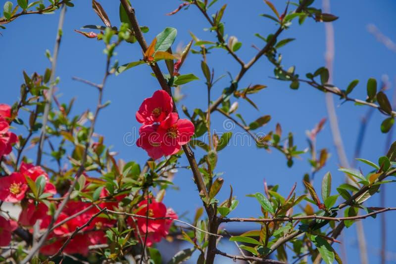Кустарник красного цветка колючий - speciosa Chaenomeles на предпосылке голубого неба, весеннем сезоне, красивом весеннем времени стоковое изображение