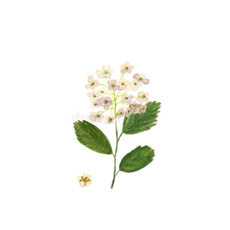 еще спирея цветок рисунок том