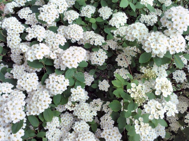 Кустарник с много белых цветков - cantoniensis весны зацветая Spiraea Spirea Также как spiraea reeve стоковые фотографии rf