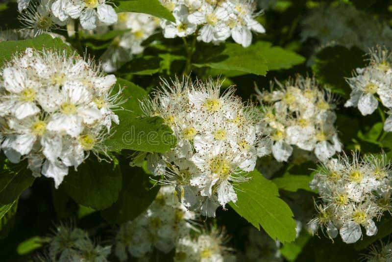 Кустарник с много белых цветков - Spirea весны зацветая Spiraea reeve, spirea Bridalwreath, Meadowsweet стоковые фотографии rf