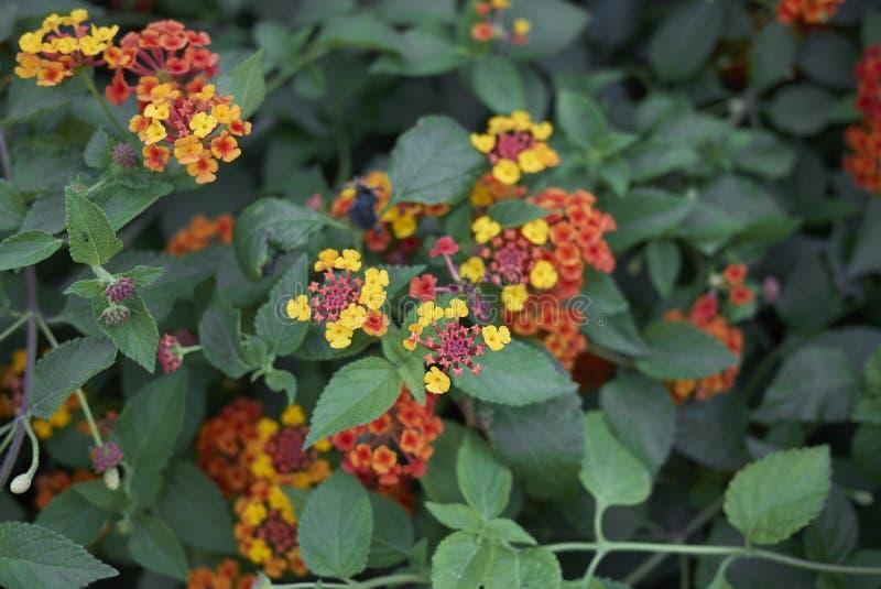 Кустарник camara Lantana в цветени стоковое изображение