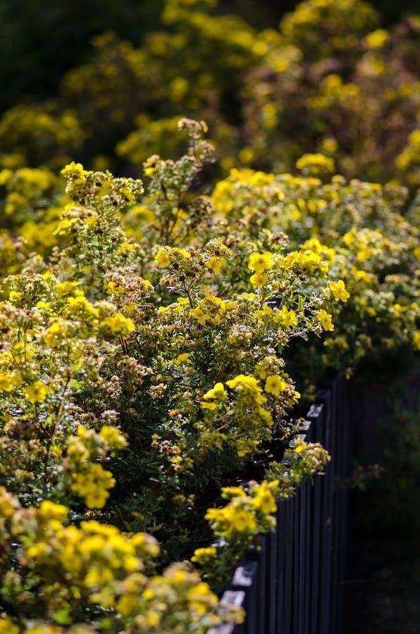 Кустарник fruticosa лапчатки стоковые фотографии rf