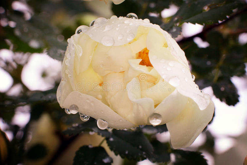 Кусты белых роз, мягкого влияния стоковое изображение rf
