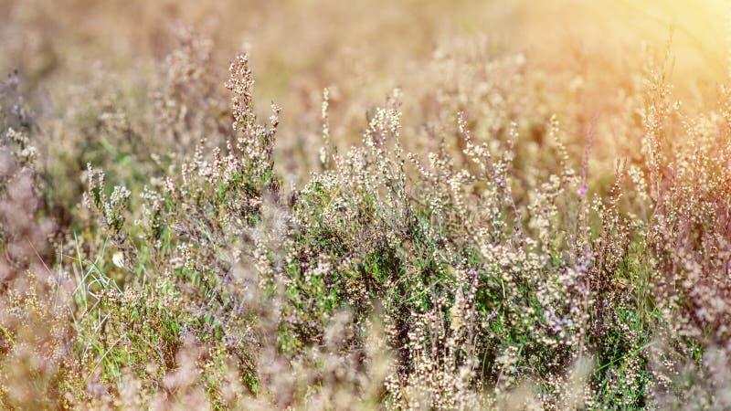 Кусты завода вереска vulgaris, времени осени Также как общие вереск, ling или просто вереск стоковое фото