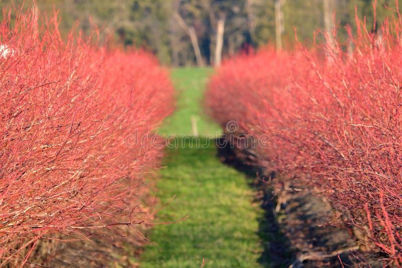 Кусты клюквы красные в зиме стоковое изображение rf