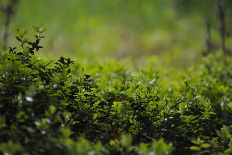 Кусты клюквы стоковая фотография