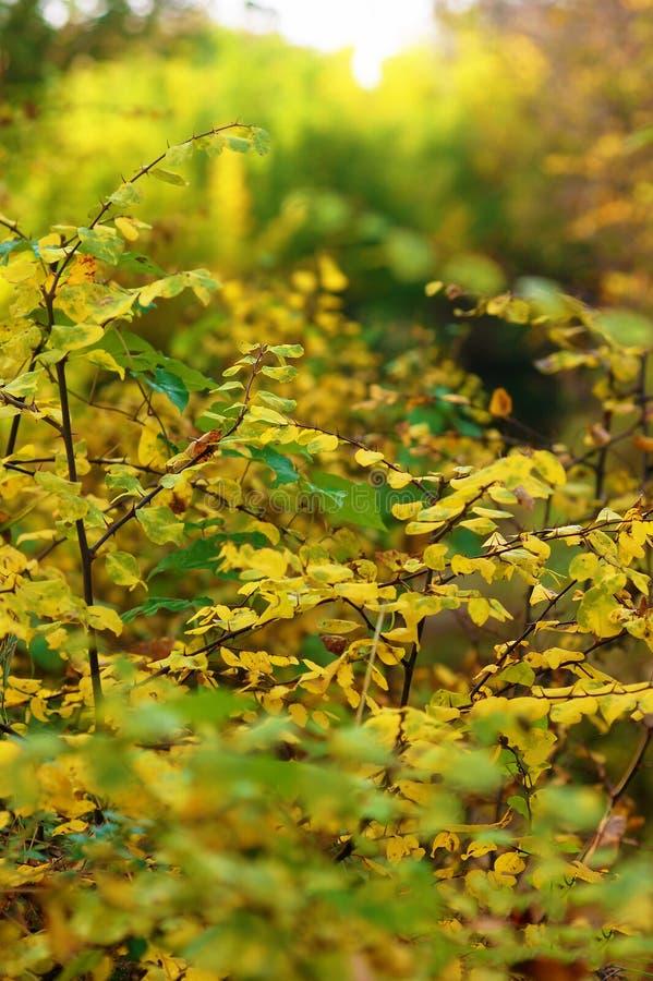 Кусты осени с яркими листьями стоковая фотография