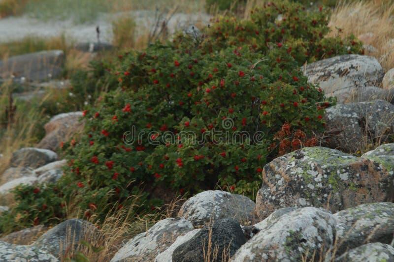 Кусты розового бедра стоковая фотография rf